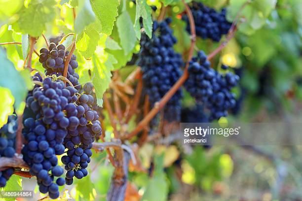 Vineyard im Herbst-Ernte