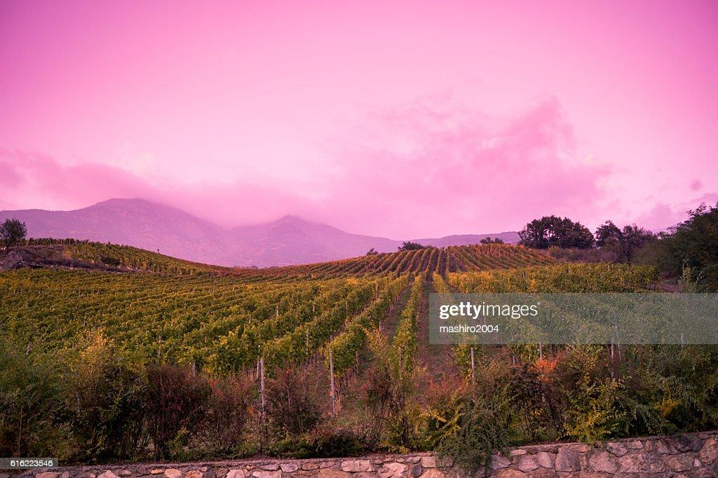 vineyard at autumn sunset : Stock-Foto