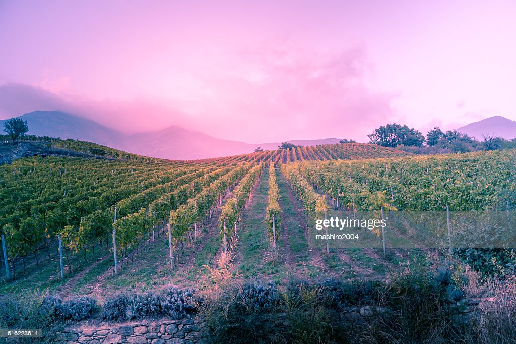 vineyard at autumn sunset : Foto stock