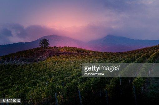 vineyard at autumn sunset : Stockfoto
