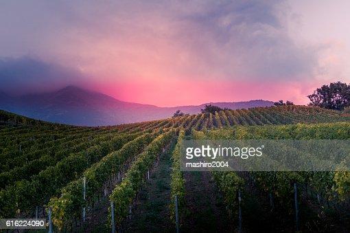 vineyard at autumn sunset : Stock Photo