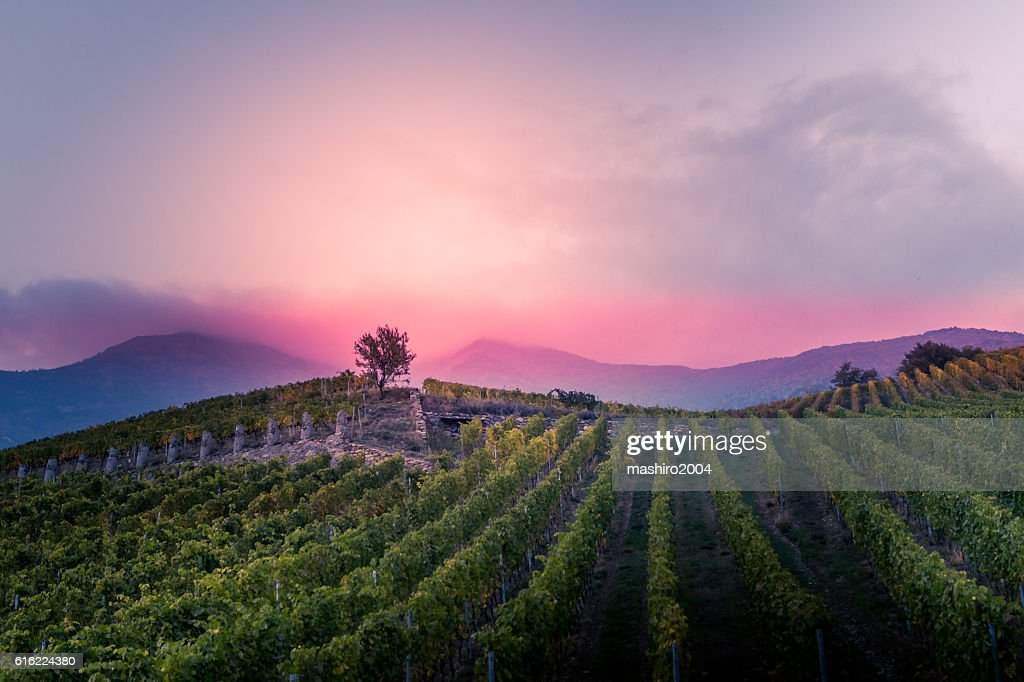 vineyard at autumn sunset : Stockfoto