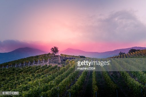 vineyard at autumn sunset : Stock Photo