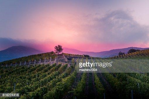 vineyard at autumn sunset : Foto stock