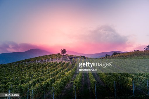 vineyard at autumn sunset : Bildbanksbilder