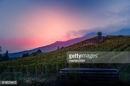 vineyard at autumn sunset : ストックフォト