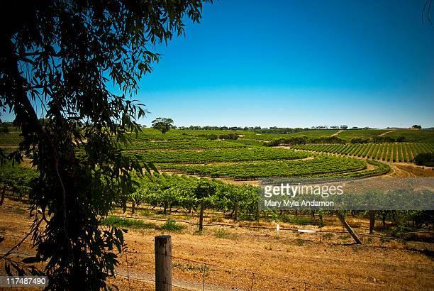 Vineyard at McLaren Vale, South Australia