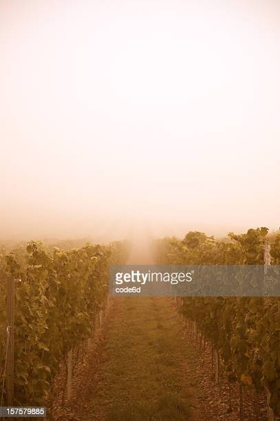 Vineyard at sunset, fog, orange sunlight, copy space