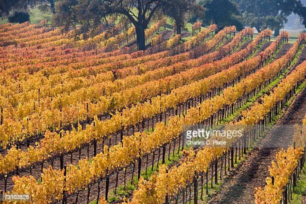 Vineyard, autumn