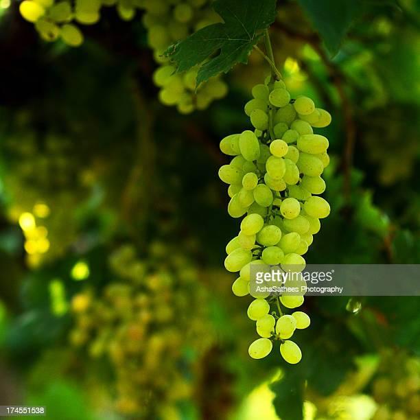 vineyard green grapes