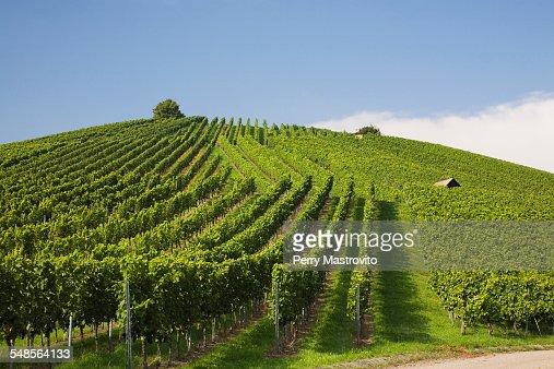 Vineyard, Heilbronn, Germany