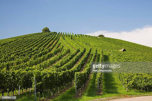 Vineyard, Heilbronn, Germany