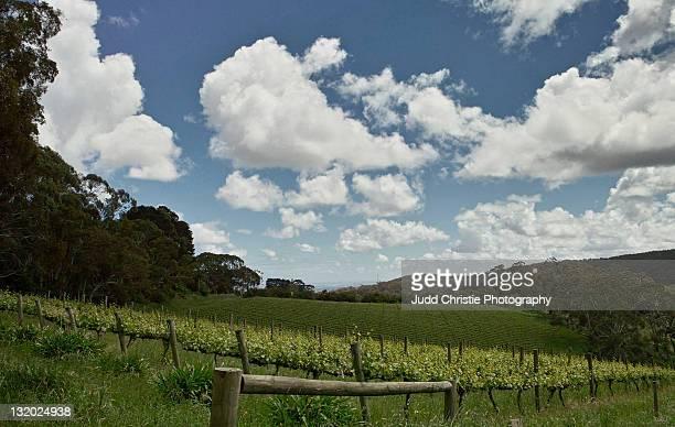 Vineyard in Adelaide hills