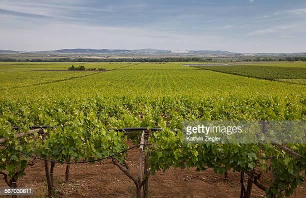 vineyard in Apulia, Italy
