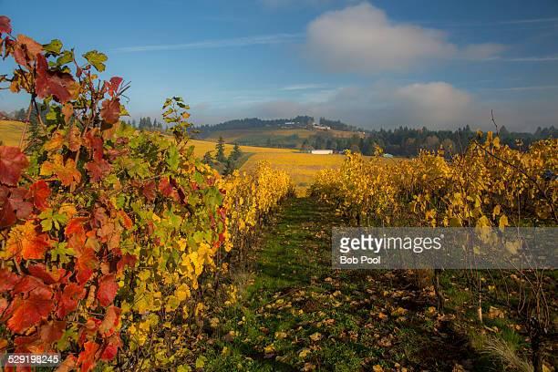 Vineyard in autumn near Salem