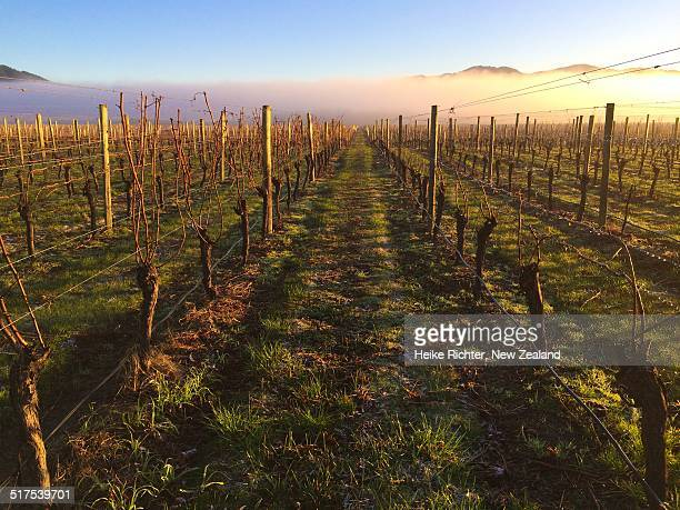 Vineyard in early morning sun
