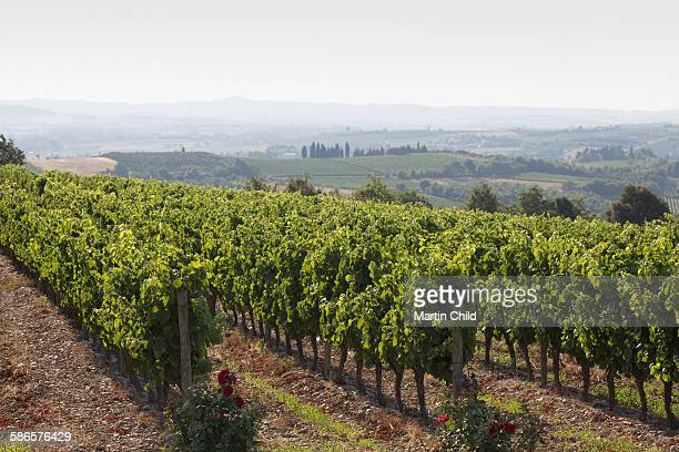 Vineyard in Languedoc-Roussillon