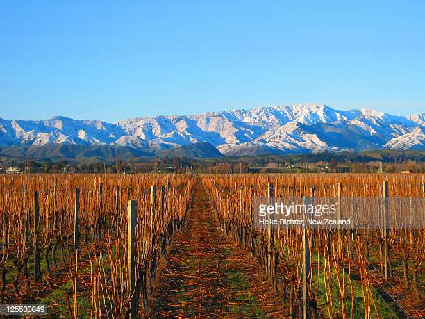 Vineyard in morning light, Marlborough