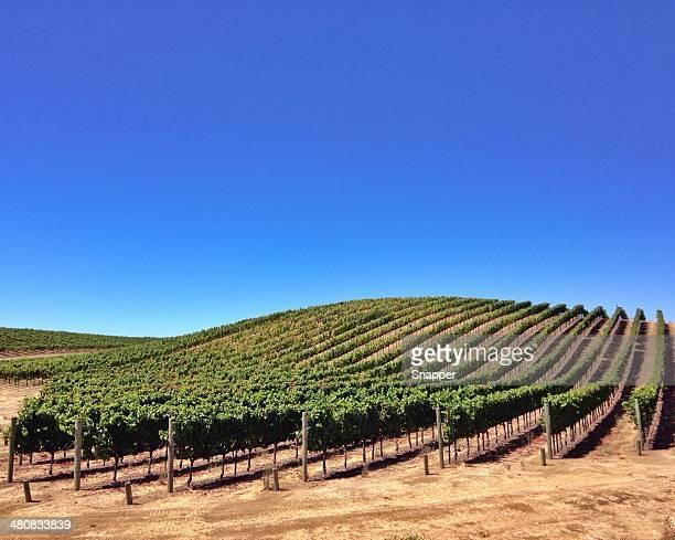 Vineyard in Napa Valley, California, America, USA