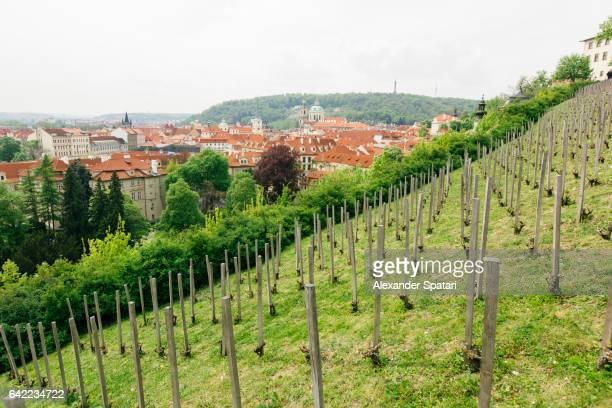 Vineyard in Prague, Czech Republic