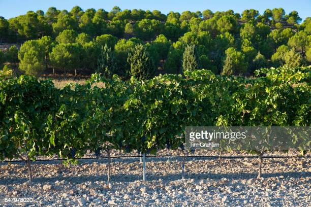 Vineyard in ribera del Duero wine production area Valladolid Spain