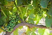 Vineyard in Santa Maria, California