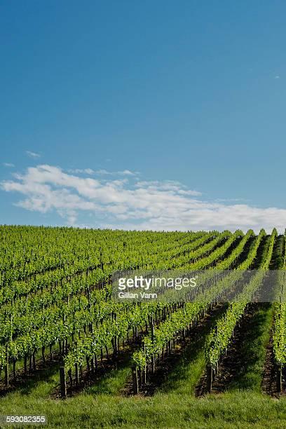 vineyard in spring, Adelaide Hills