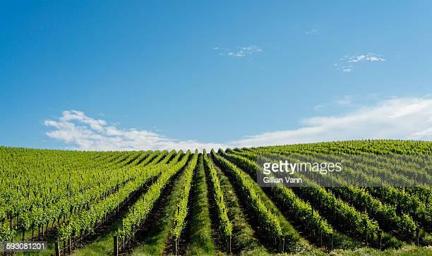 vineyard in spring, South Australia