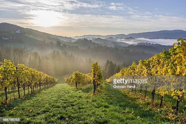 Vineyard in the morning mist, Eichberg-Trautenburg, Styria, Austria