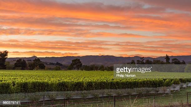 Vineyard in the sunrise