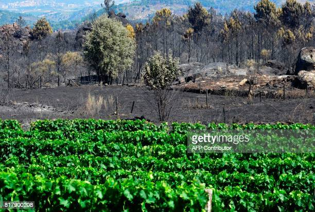A vineyard is pictured in front of a burnt area following a wildfire in Alijo on July 18 2017 A month after the deadliest forest fire in Portugal's...