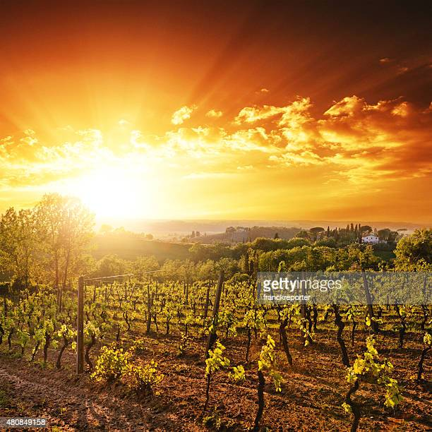 vineyard landscape at sunset