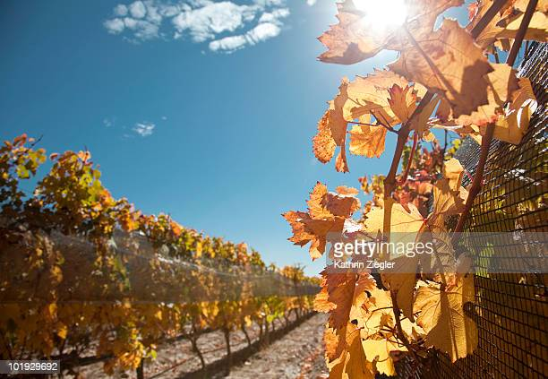 vineyard, late summer colors