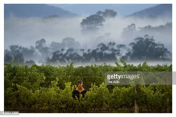 Vineyard manager Phil Lobley looks over grapes which are nearly ready to be harvested at the De Bortoli winery at Dixon's Creek in the Yarra Valley...