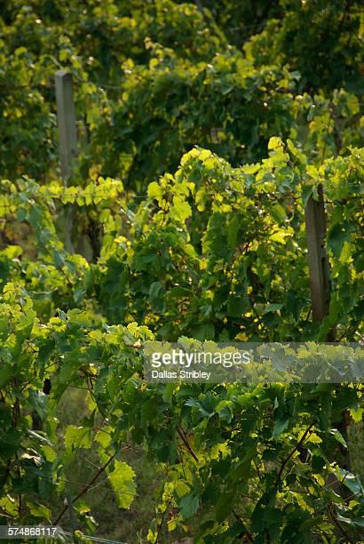 Vineyard near Manciano, Tuscany, Italy