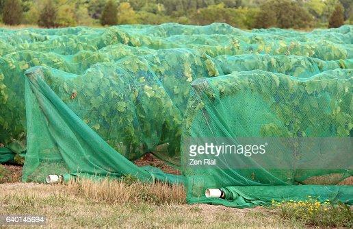 Side netting vineyard