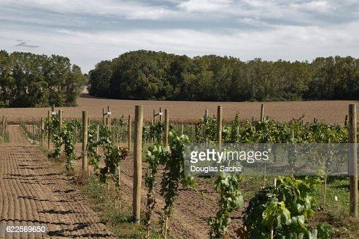 Vineyard of grapes at a Winery