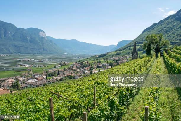 Vineyard of Termeno -Tramin, South Tyrol, Italy