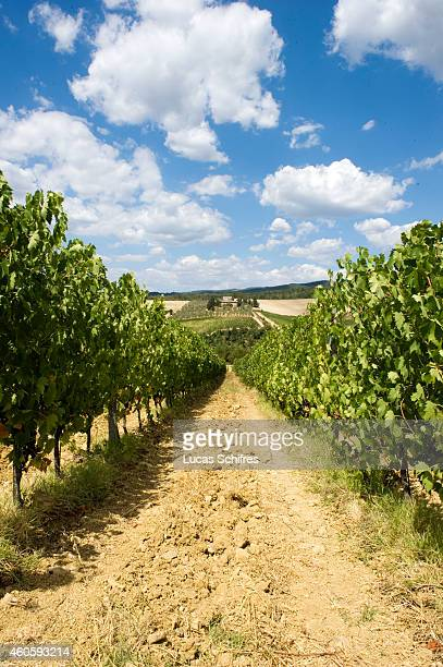 A vineyard on a hill on August 11 in Tuscany Italy Tuscany produces wines including Chianti Vino Nobile di Montepulciano Morellino di Scansano and...
