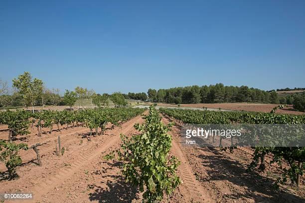 Vineyard on Hill Against Blue Sky, La Rioja, Spain