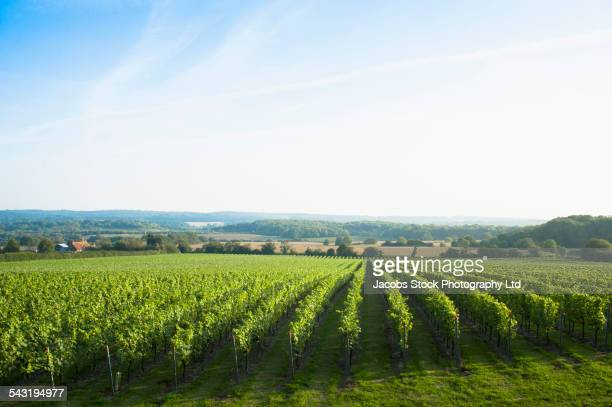 Vineyard on rural hillside