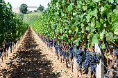 The rolling countryside of a vineyard in bordeaux.