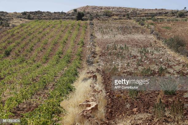 A vineyard planted next to a cannabis field on the outskirts of Deir alAhmar in the Beakaa Valley one of the poorest regions in Lebanon and notorious...