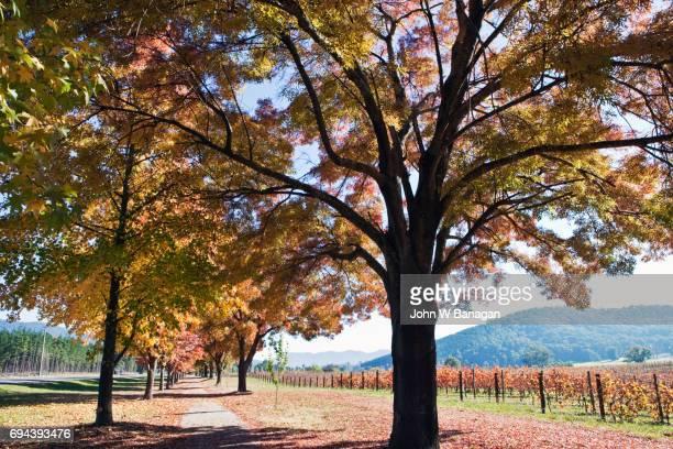 Vineyard, Porepunkah, Alpineway,Victoria