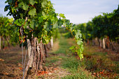 Vineyard rows with grapes. Grapes harvesting season in the Republic of Moldova