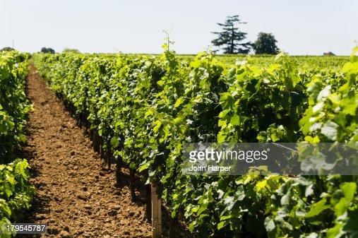 Vineyard, Saint Emilion, Aquitaine, France