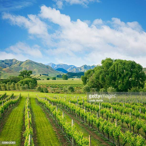Vineyard tucked up under the mountains, in the wine growing Marlborough Region, South Island, New Zealand