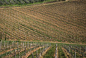 Vineyard undulation, Tuscany, Italy