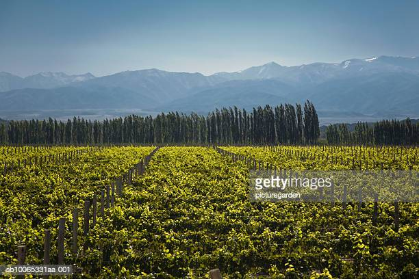 Vineyard with Andean mountain range in background