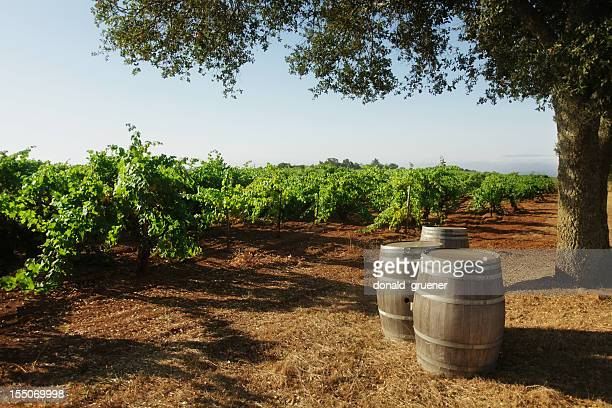 Vineyard with Barrels & Oak Tree
